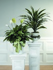 Peace lily in white basket from The Posie Shoppe in Prineville, OR