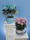 Mum plant and Hydrangea plant from The Posie Shoppe in Prineville, OR