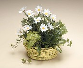 Dish garden with white daisy plant from The Posie Shoppe in Prineville, OR